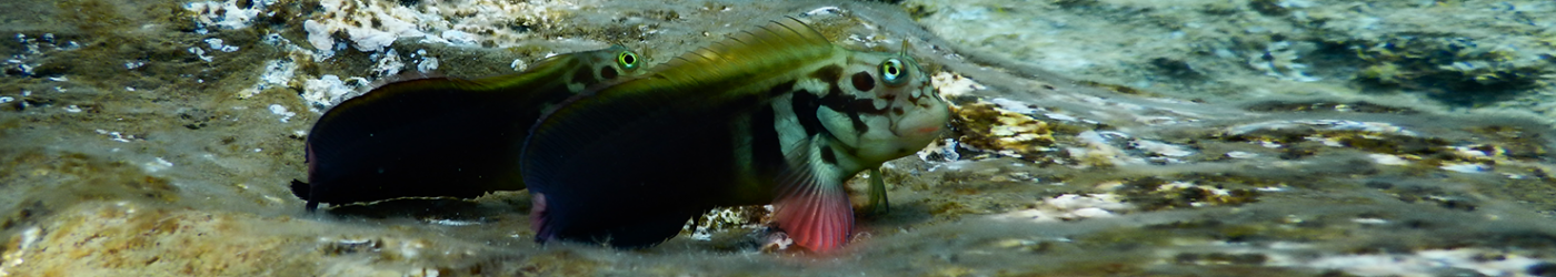PADI-Divemaster-Internship-Academy-Diving-Blenny-Fish-Underwater